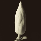 Single Magnolia Bud in Spring