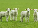 Four Lambs in Pasture