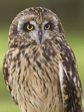 Short-eared Owl  British Columbia  Canada