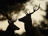 Pair of Red Deer Stags