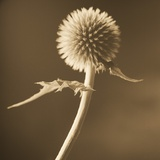 A Lone Thistle Against the Sky