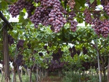 Red table grapes on vine in Basilicata