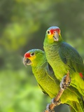 Red-lored parrots in Honduras