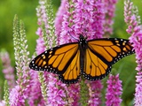 Monarch Butterfly (Danaus Plexippus) Nectaring on Speedwell Plant (Veronica Officinalis) in Flower
