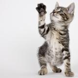 Kitten pawing at air