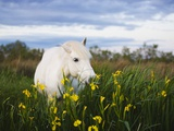 Camargue horse grazing on yellow iris