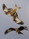 Pair of Red Kite in Flight
