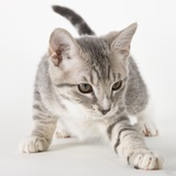 Gray kitten pawing