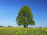 Linden Tree in Meadow of Crowfoot Flowers