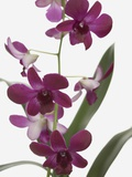 Purple Phalaenopsis orchids