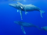 Male Humpback Whales Following Cow and Calf in Breeding Season