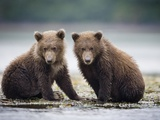 Grizzly Bear Cubs at Geographic Harbor in Katmai National Park