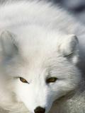 Adult Arctic Fox (Alopex Lagopus) in Winter Pelage  Arctic Canada