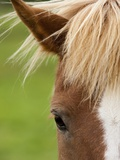 Icelandic horse