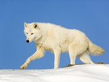 Arctic Wolf Against Blue Sky