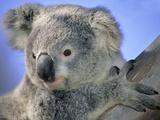 Juvenile Koala (Phascolarctos Cinereus) Brisbane  Australia