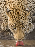 Leopard Drinking  Greater Kruger National Park  South Africa