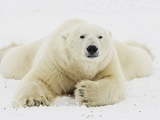 Polar bear lying in snow