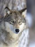 Loup gris Papier Photo par Frank Lukasseck