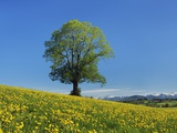Lime tree in dandelion covered meadow