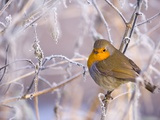 Robin among frost covered branches