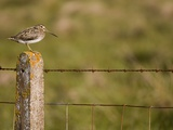 Common snipe perched in fence post