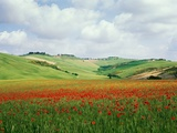 Poppy field in tuscany