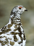 Adult Male White-tiled Ptarmigan (Lagopus Leucurus) in Late Spring Plumage  Northern Rocky Mountain