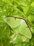 Luna Moth (Actias Luna) Mating Pair Among Hay-scented Ferns  Lively  Ontario  Canada