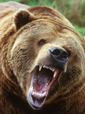 Coastal Grizzly Bear (Ursus Horribilus)  Full Face Snarling  British Columbia  Canada