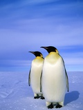 Emperor Penguins (Aptenodytes Forsteri) Near Their Nesting Colony at Atka Bay  Weddell Sea  Antarct