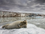 Bearded Seal on Iceberg in the Svalbard Islands