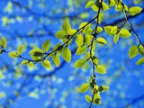 Spring Leaves  Irving Nature Park  Saint John  New Brunswick  Canada