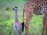 Baby Masai Giraffe at Serengeti National Park