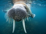 Adult Male Walrus, Lagoya, Svalbard, Norway Papier Photo par Paul Souders