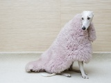 Greyhound Wearing a Pink Rug