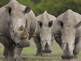 Three White Rhinoceros
