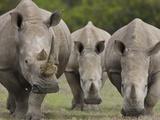 Three White Rhinoceros