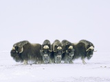 Adult Bull Muskoxen (Ovibos Moschatus) in Defensive Line Banks Island  Northwest Territories  Arct