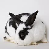 Black and tan rabbit