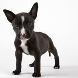 American bulldog puppy