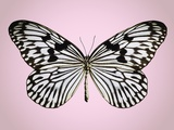 Paper-kite butterfly