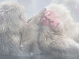 Japanese Macaque Grooming Another in Hot Spring