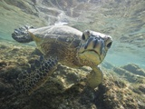 Green sea turtle approaching camera