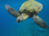 Adult Green Sea Turtle (Chelonia Mydas) in the Protected Marine Sanctuary at Honolua Bay