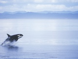 Killer Whale Breaching  British Columbia  Canada