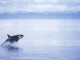 Killer Whale Breaching  British Columbia  Canada