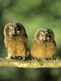 Boreal Owlets (Aegolius Funereus)  Northern Alberta  Canada