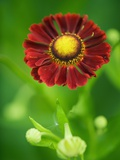 Helenium dunkelpracht