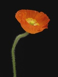 Corn Poppy Flower  Close-up